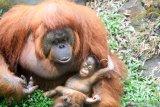 Seekor bayi orangutan Kalimantan (Pongo Pyhmaeus) berkelamin betina bernama Nanda bersama induknya di kandang Taman Safari Prigen, Pasuruan, Jawa Timur, Rabu (12/8/2020). Bayi orangutan yang lahir pada 11 Maret 2020 secara normal tersebut lahir dari indukan betina bernama Naning dan pejantan bernama Bima menambah koleksi orangutan di taman itu menjadi 22 ekor. Antara Jatim/Umarul Faruq/zk