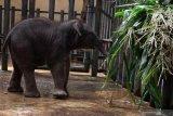 Kebun binatang tertua Jepang menyambut kelahiran bayi gajah pertama
