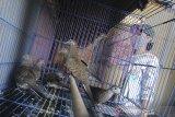 Warga merawat burung perkutut (Geopelia striata)peliharaannya di penangkaran Pegasus Birdfarm di Indramayu, Jawa Barat, Kamis (13/8/2020). Burung perkutut tersebut dijual seharga Rp500 ribu hingga Rp1,5 juta tergantung jenis dan asal nya. ANTARA JABAR/Dedhez Anggara/agr