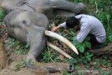Petugas Balai Konservasi Sumber Daya Alam (BKSDA) Aceh berada di dekat bangkai gajah sumatra (Elephas maximus sumatranus) jinak yang mati mendadak di kawasan Conservation Response Unit (CRU) Sampoiniet, Aceh Jaya, Aceh, Kamis (13/8/2020). Gajah jinak jantan yang berusia 34 tahun dan diberi nama Olo tersebut ditemukan mati mendadak sekitar pukul 11.00 WIB. Antara Aceh/Syifa Yulinnas