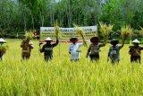 Petani Desa Jirak Kabupaten Muba panen perdana padi organik
