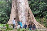 Ada pohon raksasa di hutan Nagari Koto Malintang Agam