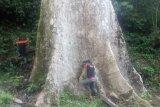 Ini pohon kayu terbesar di dunia yang tumbuh di Agam, miliki 516 meter kubik, berdasarkan rumus kubi kasi