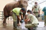 Gajah di Taman Safari Bogor jalani pemeriksaan paru-paru