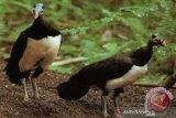 BKSDA Sulteng tingkatkan populasi satwa burung maleo Sulawesi