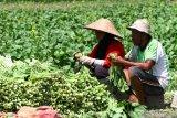 Kemenko Perekonomian dorong pengembangan komoditas hortikultura orientasi ekspor