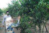Wisatawan bisa makan jeruk sepuasnya  di kebun milik Giyanto buah jeruk