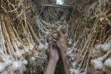 Target produksi bawang putih
