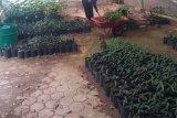 PT Semen Padang lakukan pembibitan beragam pohon untuk penghijauan di area perusahaan dan permukiman masyarakat