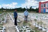 Barito Utara kembangkan jahe merah dengan sistem 'bigbag'