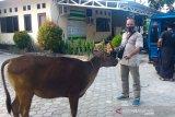 Pencurian hewan ternak, warga Wanasaba Lombok Timur resah