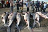 Perdagangan Ikan Hiu Harimau di Aceh
