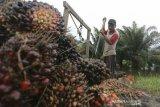 Harga kelapa sawit terus naik, petani kembali bergairah