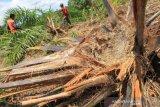 Kawanan gajah merusak kebun kelapa sawit warga