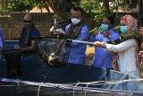 Menteri KKP panen 804 ikan nila di Kupang