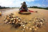 Warga mendulang bijih emas secara tradisional di pertemuan arus Sungai Batang Asai dan Sungai Batang Tembesi, Sarolangun, Jambi, Minggu (30/8/2020). Kegiatan yang biasa dilakukan warga setempat setiap memasuki musim air surut tersebut mampu menghasilkan pendapatan rata-rata Rp100 ribu sampai Rp150 ribu per hari. ANTARA FOTO/Wahdi Septiawan/foc.