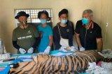 Harimau sumatera mati akibat terjerat di leher