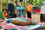 BBKSDA selamatkan harimau sumatera hindari konflik satwa-manusia