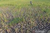 129.788 jiwa di Gunung Kidul terdampak kekeringan