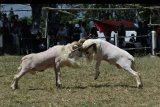 Dua domba beradu kepala saat kontes ternak di Kabupaten Garut, Jawa Barat, Minggu (6/9/2020). Selain pelestarian tradisi, laga adu domba tersebut juga sebagai ajang pencarian domba berkualitas untuk dijual dengan nilai tinggi. ANTARA FOTO/Candra Yanuarsyah/nym