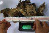 Petugas Balai Konservasi Sumber Daya Alam (BKSDA) mengukur panjang dan berat tulang tengkorak binatang yang diduga merupakan spesies harimau jawa (Panthera tigris sondaica) di Merjosari, Malang, Jawa Timur, Senin (7/9/2020). Tengkorak yang ditemukan di Sungai Metro tersebut selanjutnya akan dibawa ke laboratorium untuk diteliti lebih lanjut. ANTARA FOTO/Ari Bowo Sucipto/wsj.