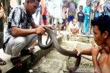 Warga Manggala tangkap ular kobra sepanjang 4 meter