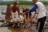 Musi Banyuasin dorong masyarakat peduli  biota sungai