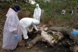 BKSDA turunkan tim periksa kematian gajah di Pidie