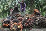 Harga komoditas perkebunan di Pesisir Selatan berangsur naik