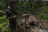 Gajah sumatera mati lagi, BKSDA: diduga tersengat listrik
