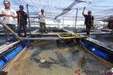 Dirjen KKP Slamet Soebjakto nyatakan ikan kerapu punya nilai ekonomi luar biasa