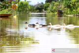 Sejumlah unggas berenang melintasi jalan yang terendam banjir di Teluk Barak, Putussibau Selatan, Kabupaten Kapuas Hulu, Kalimantan Barat, Minggu (13/9/2020). Badan Penanggulangan Bencana Daerah Kapuas Hulu menyatakan berdasarkan data per hari Minggu (13/9/2020) terdapat seratus rumah warga di lima kecamatan yaitu Putussibau Utara, Putussibau Selatan, Bika, Kalis dan Embaloh Hilir di kabupaten setempat yang terendam banjir akibat tingginya curah hujan selama beberapa hari terakhir. ANTARA FOTO/Jessica Helena Wuysang/aww.