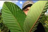 Seorang warga memperlihatkan dua lembar Kratom atau daun purik jenis tulang merah di Putussibau, Kabupaten Kapuas Hulu, Kalimantan Barat, Minggu (13/9/2020). Tanaman kratom (mitragyna speciosa) yang memiliki tiga jenis varian yaitu tulang merah (Red Vein), tulang hijau (Green Vein) dan tulang putih (White Vein) tersebut menjadi komoditas pertanian unggulan di daerah setempat. ANTARA FOTO/Jessica Helena Wuysang/aww.