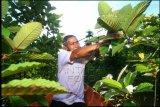 Seorang petani memetik kratom atau daun purik di kebunnya di Putussibau, Kabupaten Kapuas Hulu, Kalimantan Barat, Minggu (13/9/2020). Tanaman kratom (mitragyna speciosa) yang memiliki tiga jenis varian yaitu tulang merah (Red Vein), tulang hijau (Green Vein) dan tulang putih (White Vein) tersebut menjadi komoditas pertanian unggulan di daerah setempat. ANTARA FOTO/Jessica Helena Wuysang/aww