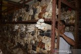 Petani menata berbagai jenis jamur di lokasi usaha budi daya dan pembibitan Desa Batoh, Banda Aceh, Aceh, Selasa (15/9/2020). Petani di daerah itu menyatakan usaha budi daya jamur masih tetap bertahan di tengah pandemi COVID-19, meski permintaan menurun dengan harga penjualan Rp40.000 hingga Rp60.000 perkilogram menurut jenisnya. Antara Aceh/Ampelsa.