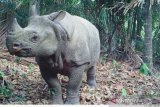 Guling-guling di  kubangan dan status konservasi badak jawa
