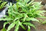 Dosen peneliti IPB University menciptakan obat pelangsing herbal Prolislim