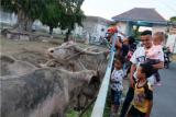 Sejumlah warga dan anak-anak melihat kerbau dengan mengabaikan protokol kesehatan guna mencegah penularan virus COVID-19, di Solo, Jawa Tengah, Senin (14/9/2020). Meski Pemerintah Kota Solo tengah menggelar operasi yustisi penegakan disiplin protokol kesehatan, warga masih beraktivitas tanpa memakai masker, tidak menjaga jarak dan berkerumun ditengah pandemi COVID-19. ANTARA FOTO/Maulana Surya/hp.