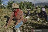 Sejumlah buruh tani membersihkan gabah saat panen di area persawahan Tarogong Kaler, Kabupaten Garut, Jawa Barat, Rabu (16/9/2020). Badan Pusat Statistik (BPS) menyebut upah nominal harian buruh tani nasional pada Agustus 2020 naik sebesar 0,12 persen atau Rp55.677 dibanding Juli 2020 sebesar Rp55.613 per hari yang disebabkan indeks konsumsi di pedesaan mengalami deflasi 0,28 persen. ANTARA JABAR/Candra Yanuarsyah/agr
