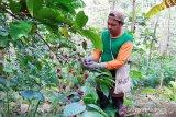 Produk Kopi Gucialit Lumajang dipasarkan juga ke luar negeri