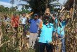 Lapas Lubukbasung panen jagung yang digarap melalui program asimilasi warga binaan