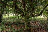 Ekspor kakao Manokwari Selatan ke Eropa lancar meskipun pandemi
