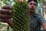 Kabupaten Banyuasin jadi sentra  budi daya tanaman porang