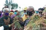 Bantul panen raya bawang merah dari lahan seluas 90 hektare