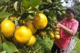 Pentingnya asupan vitamin C dan D pada masa pancaroba dan wabah COVID-19