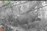 Kelahiran dua anak badak jawa  di Taman Nasional Ujung Kulon