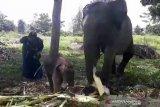 Gajah sumatera korban jerat melahirkan di PLG Minas