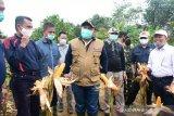 Kampar atasi pandemi COVID-19 dengan tanam jagung