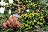 Bantu masyarakat budidayakan kopi dan coklat, kata Legislator Kalteng