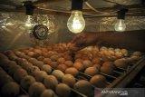 Petugas menyimpan telur di mesin penetas di UPT Pembibitan Tanaman Pangan, Hortikultura, dan Peternakan, Dinas Pangan dan Pertanian (Dispangtan) Kota Bandung, Jawa Barat, Senin (21/9/2020). Dispangtan Kota Bandung telah mendistribusikan 650 ekor ayam joper untuk kelompok berkebun Buruan Sae di 11 Kecamatan di Kota Bandung dalam rangka program